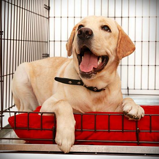 Happy yellow lab in a crate