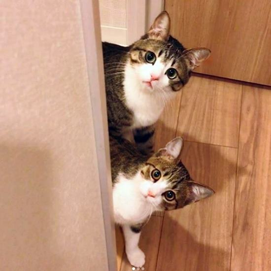 Two incredibly similar and adorable tabbies with white bibs and pink noses gaze wide-eyed from around the corner of a wall