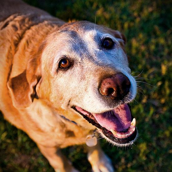 Gray-faced senior lab smiling at camera