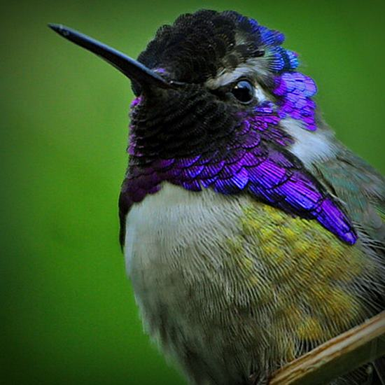 Beautiful hummingbird with purple and green head