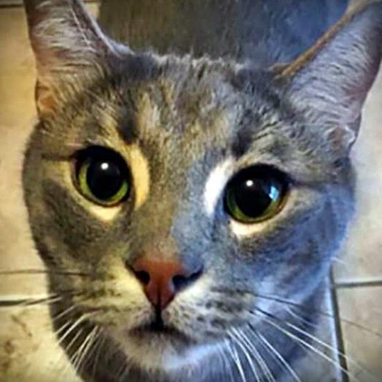 Gray tabby cat with winning green eyes