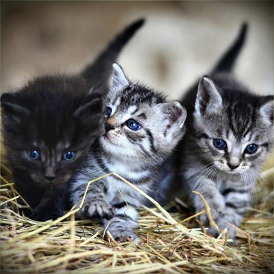 Three sweet little gray tabby kittens