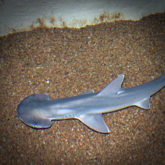 Small bonnethead shark gliding over sand