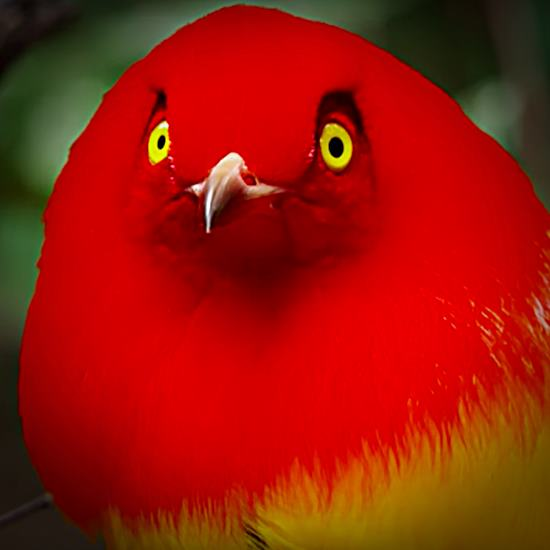 Bright scarlet head and yellow eyes and beak of bowerbird