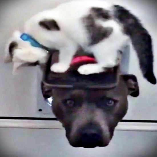 Kitten sitting on catdoor flap on top of dogs head