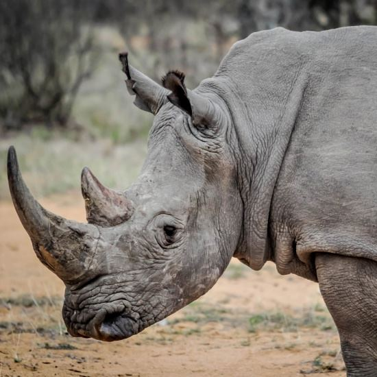 Healthy fully grown rhino with horn