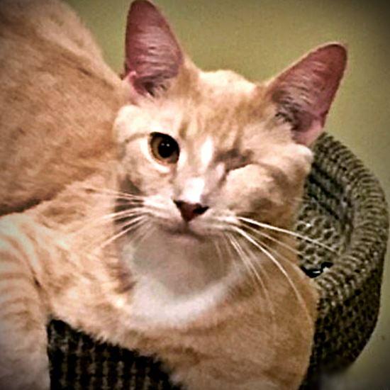 Adorable one-eyed orange tabby