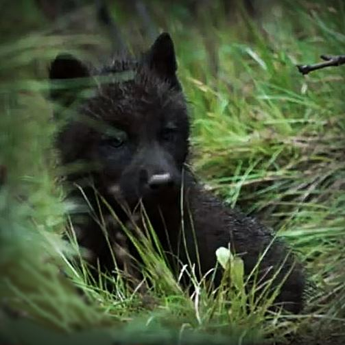 Black wolf pup in the grass