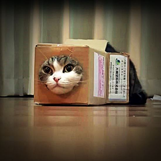 Maru squeezing into a box