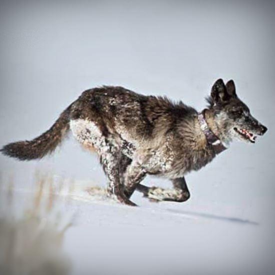 Joyous collared wolf runs through snowy landscape