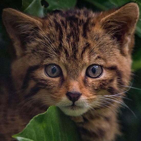 Adorable highland tiger cub