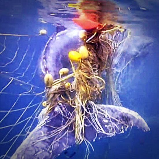 Baby humpback rescued from shark net
