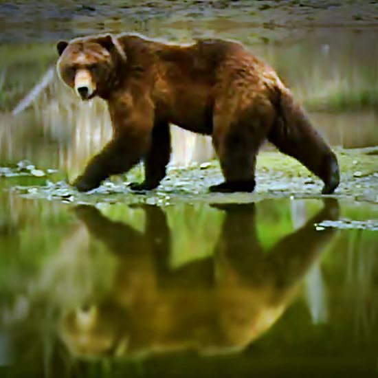 Grizzly striding near water with reflection