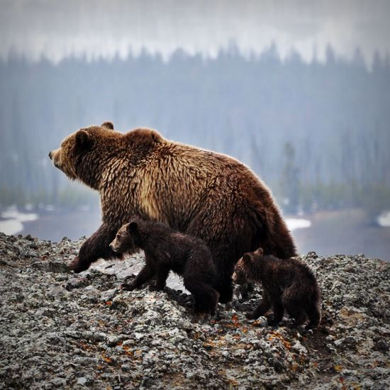 Mama grizzly and two cubs