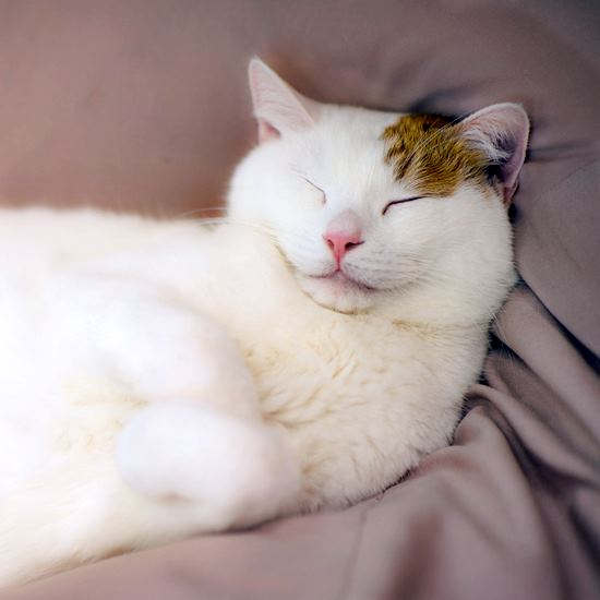 Ridiculously happy mostly white cat with ginger ear