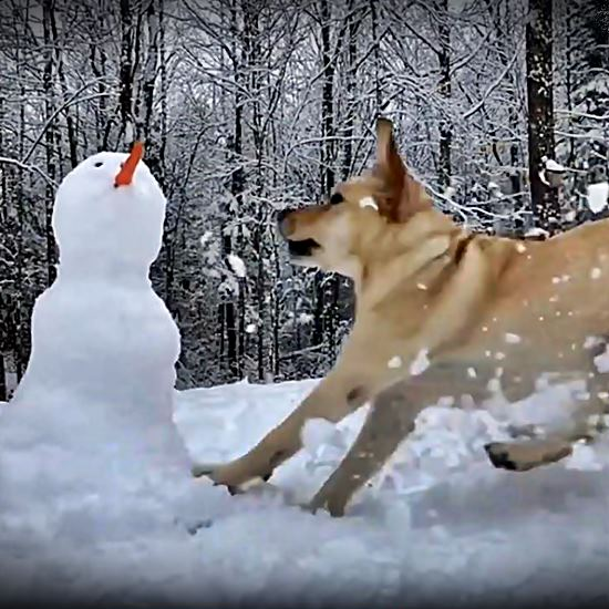 Ridiculously joyously uninhibited lab destroys snowmen