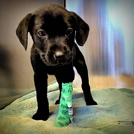 Lab puppy in a green cast