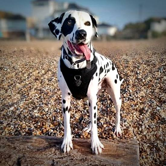 Happy dalmatian