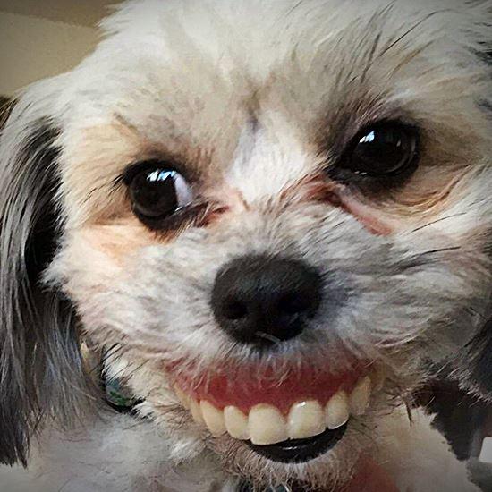 Sweet floofy white dog stealing dentures