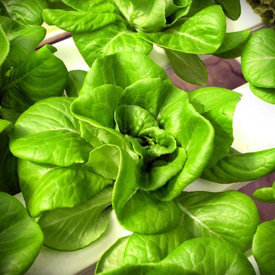 Lettuce in a hydroponic farm system