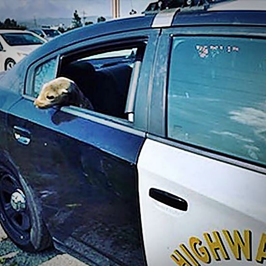 Seal in the back of a police vehicle