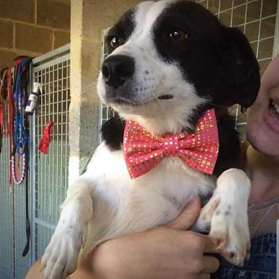 Adoptable pup in a lovely custom bow tie