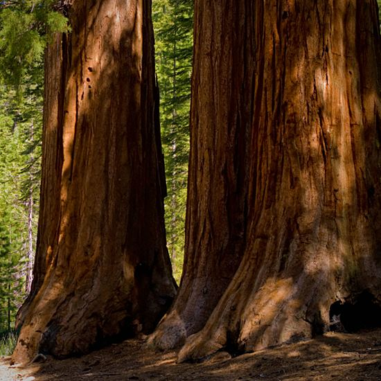 Great redwood trunks dappled with sun in northern California