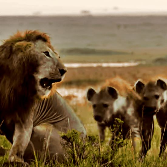 Young lone male lion and hyena pack