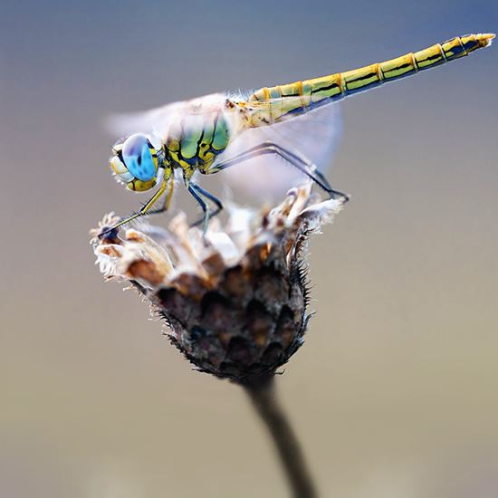 Dragonfly resplendent in turquoise and yellow and green