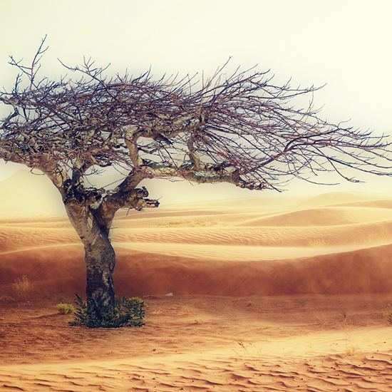 Dead tree in a desert