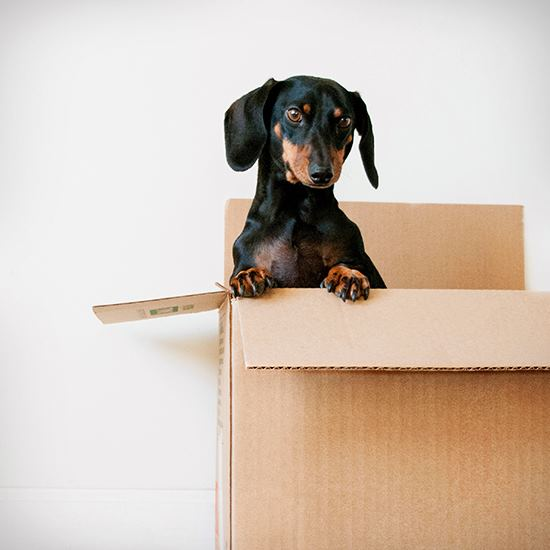 Dachshund popping out of a cardboard box