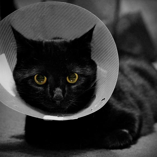 Black cat in a cone looking disgruntled