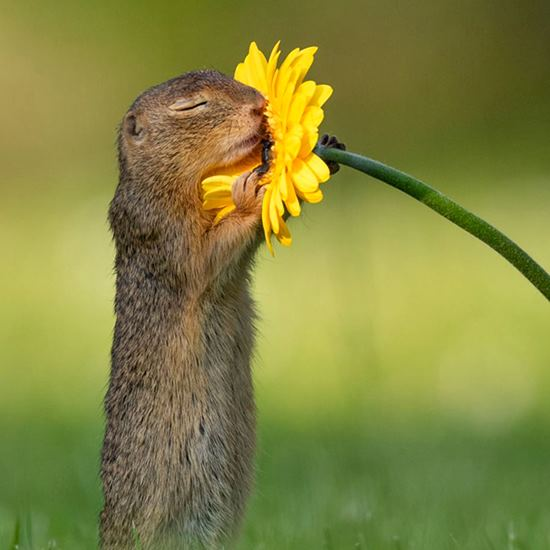 Squirrel sniffing a flower