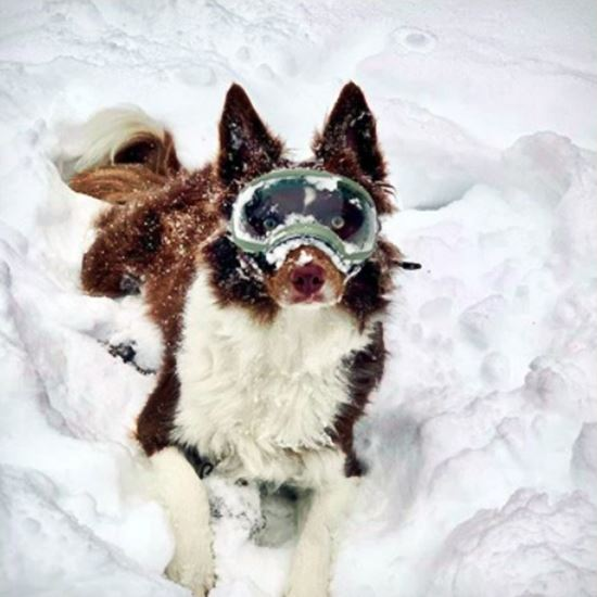 Happy be-goggled snow dog
