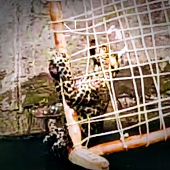 Leopard climbing out of a well using a wicker bedframe