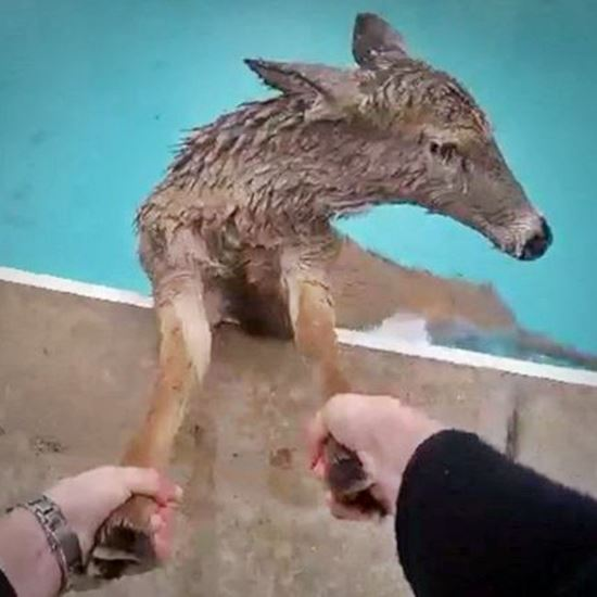 Doe trapped in a pool