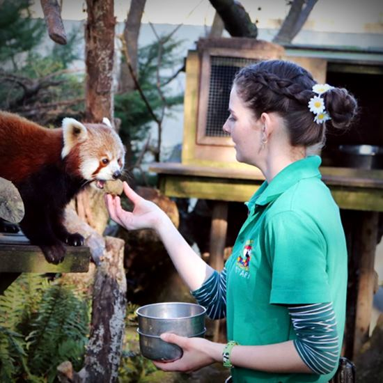 Woman feeding a red panda by hand