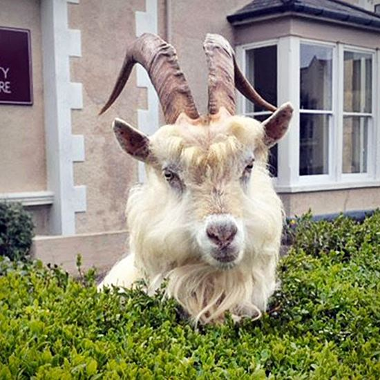Silly white billy goat in a hedge