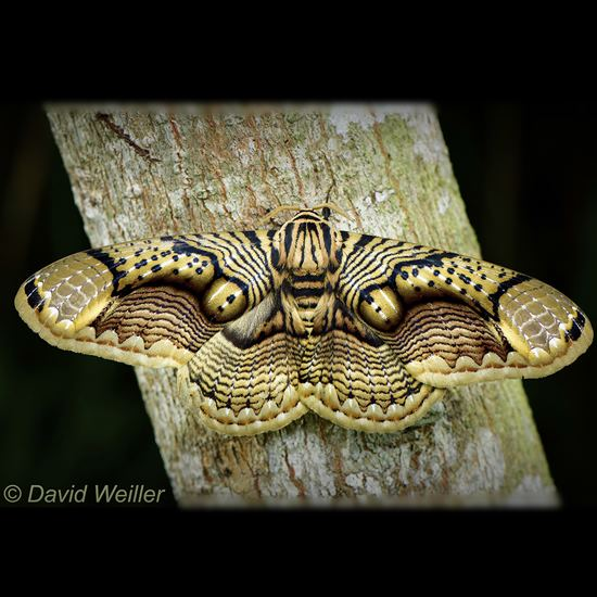Brahmaea Hearseyi moth with intricate eye-like patterns on wings