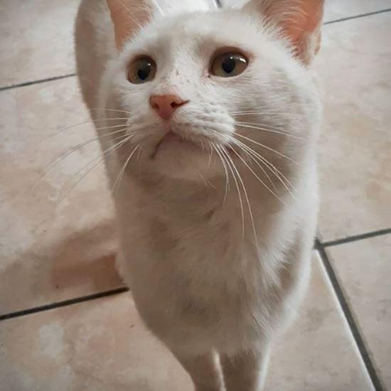White cat with imploring eyes