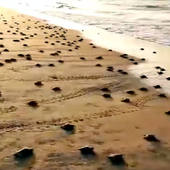Baby turtles as far as the eye can see