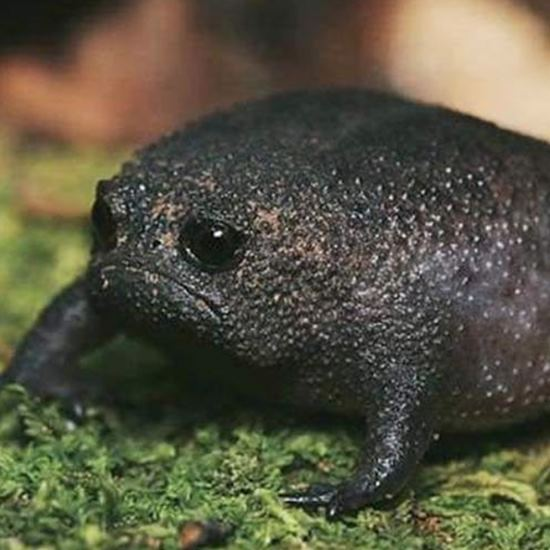 Black warty frog all puffed up and frowning