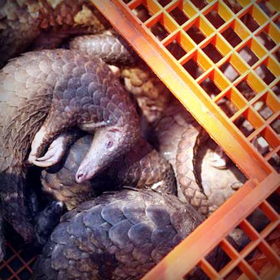 Dead pangolins in a crate