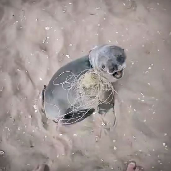 Baby seal entangled in line