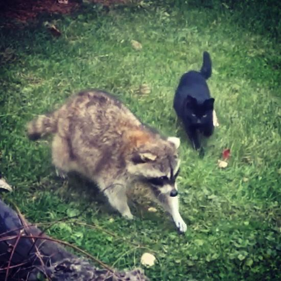 big raccoon and little black kitten pacing the lawn