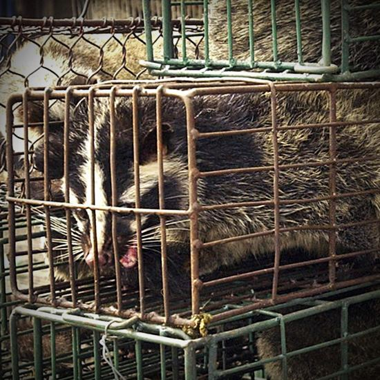 Wild animal in a cage about the size of its own body