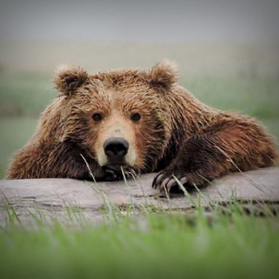 Grizzly lounging on a log
