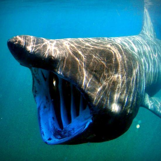 beautiful basking shark