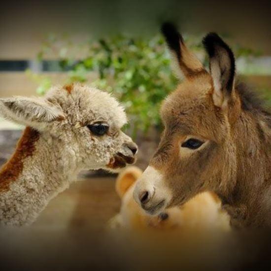 Baby donkey and baby alpaca