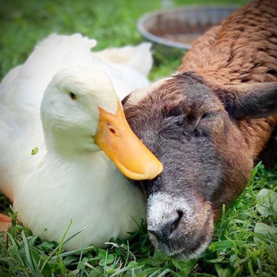 Duck and goat
